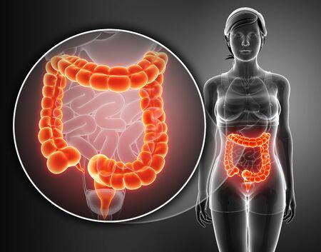 large intestine: 3d Render of Human Large Intestine