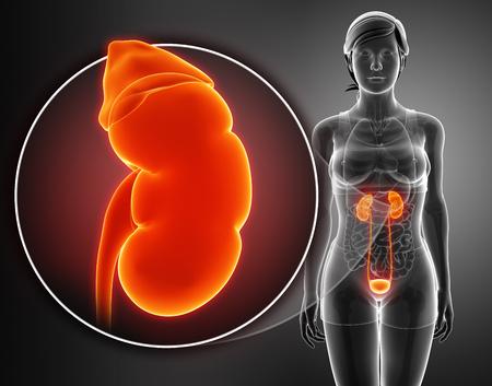 rectum: 3D Render of Human Kidneys Anatomy