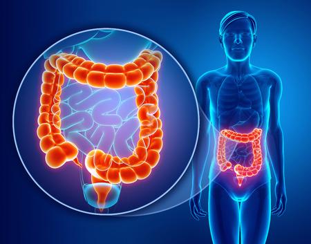 人間の大腸の 3 d レンダリング