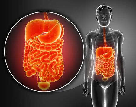 3d render of digestive system