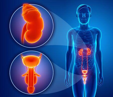 uretra: Sistema reproductor masculino