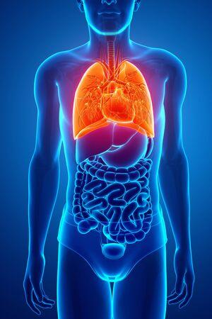 Anatomia del sistema respiratorio umano con i polmoni Archivio Fotografico