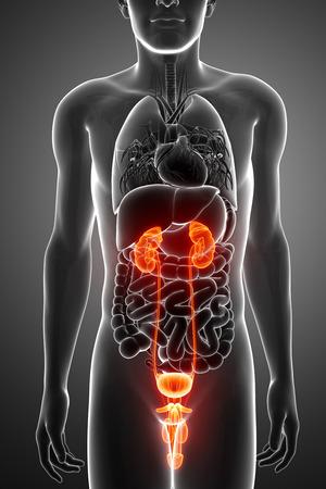 3D Render of Human Kidneys Anatomy