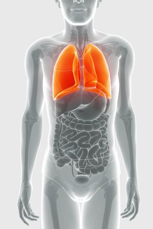 Anatomy of Human respiratory system with lungs