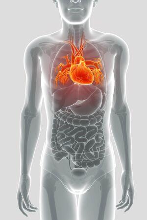 Procesamiento 3d De La Anatomía Del Corazón Humano Fotos, Retratos ...