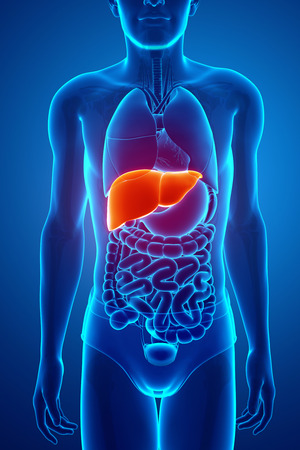 esophagus: 3d Render of Male liver anatomy Stock Photo