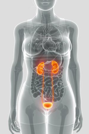 testis: 3D Render of Human Kidneys Anatomy