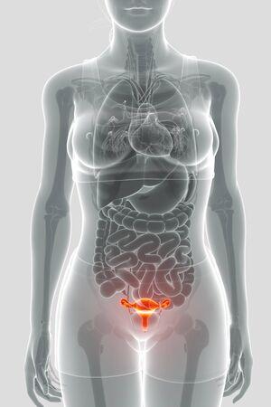 sistema reproductor femenino: Sistema reproductivo femenino Foto de archivo