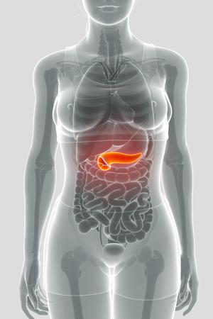 large intestine: pancreas anatomy