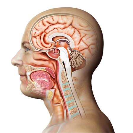 3d rendered, medically accurate illustration of Cross section of male head Archivio Fotografico