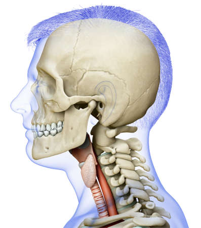 3d rendered medically accurate illustration of the male larynx anatomy Stock Photo