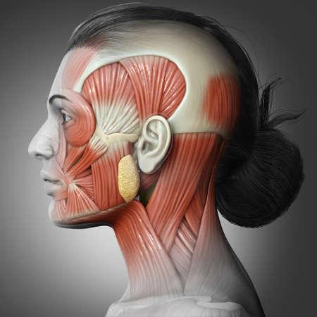 3d rendering medical illustration of Female head anatomy for education 版權商用圖片