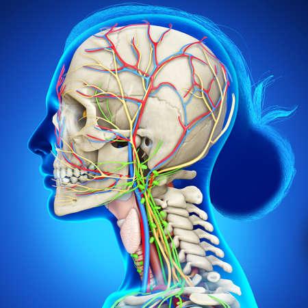 3d rendering medical illustration of Female head anatomy for education