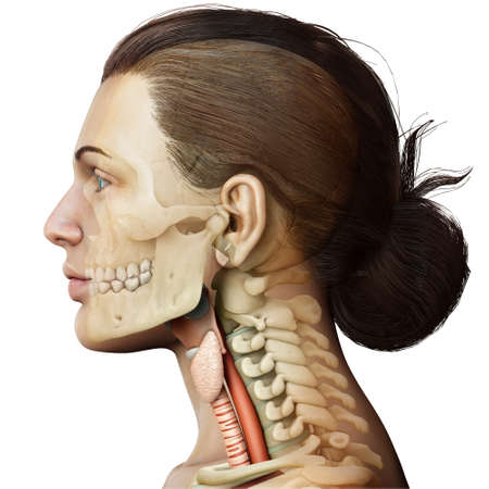 3d rendered medically accurate illustration of the female larynx anatomy Stock Photo