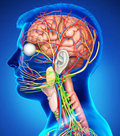 3d rendered medically accurate illustration of a male brain anatomy
