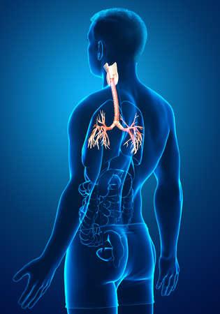 3D illustration of Larynx Trachea Bronchi Part of Respiratory System. Foto de archivo