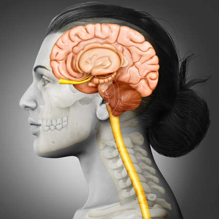 3d rendering medical illustration of Female brain  anatomy