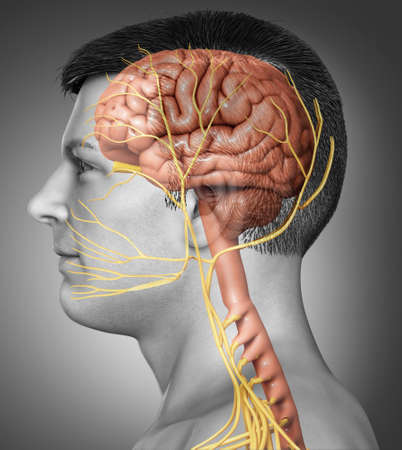 3d rendered medically accurate illustration of a male brain anatomy 版權商用圖片