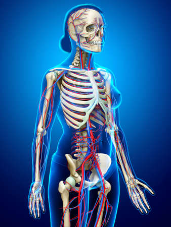 3d rendered medically accurate illustration of the female circulatory and skeleton system Stockfoto
