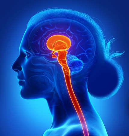 3d rendering medical illustration of brainstem Stock fotó
