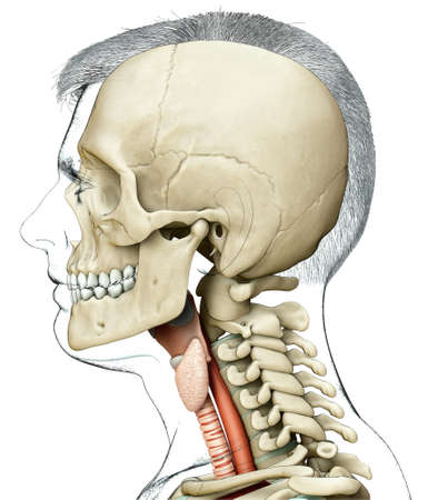 3d rendered medically accurate illustration of the male larynx anatomy