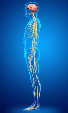 3d rendered medically accurate illustration of a male nervous system