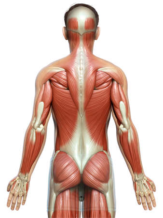 3d rendered medically accurate illustration of a male muscle system
