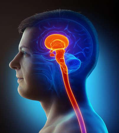 3d rendering medical illustration of brainstem 版權商用圖片
