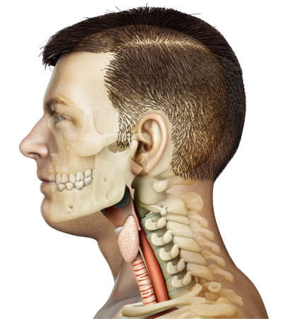 3d rendered medically accurate illustration of the female larynx anatomy