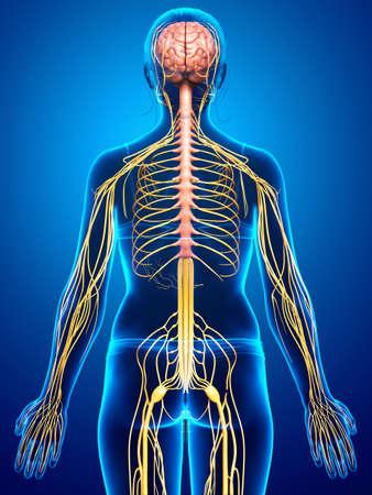 3d rendered medically accurate illustration of a female nervous system Standard-Bild