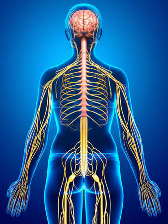 3d rendered medically accurate illustration of a female nervous system Stock fotó