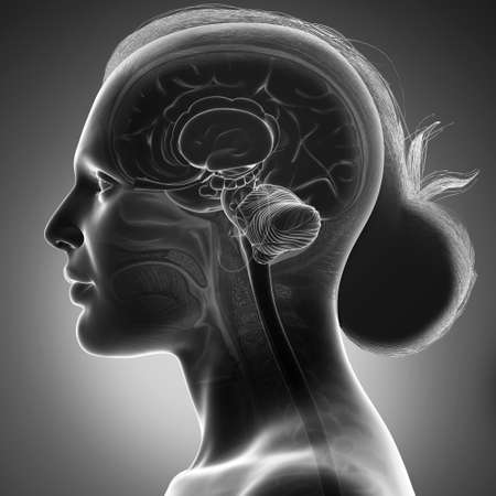 3d rendered medically accurate illustration of a female head anatomy