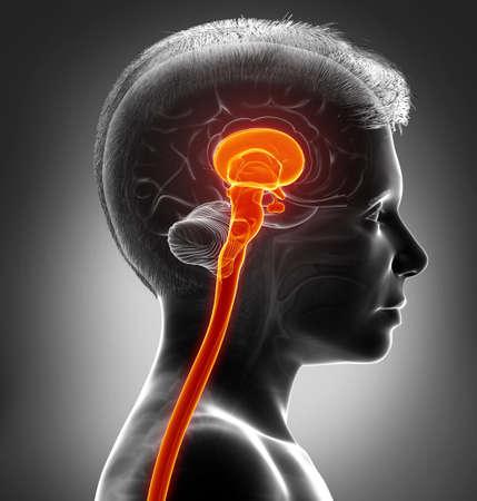 3d rendering medical illustration of brainstem
