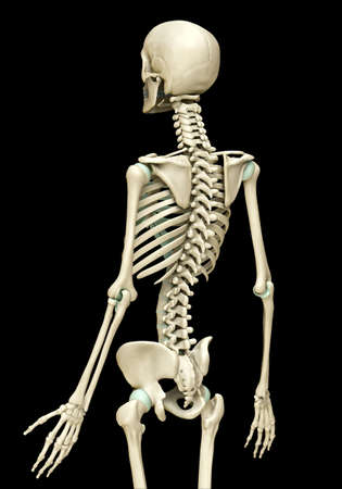 3d rendered, medically accurate illustration of the skeleton system Stock fotó