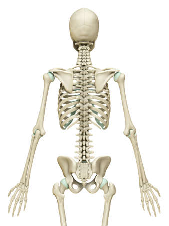 3d rendered, medically accurate illustration of the skeleton system