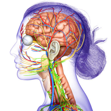 3d rendered medically accurate illustration of a female brain anatomy