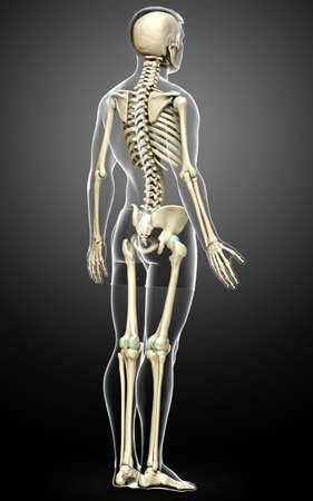 3d rendered, medically accurate illustration of a male skeleton system Imagens