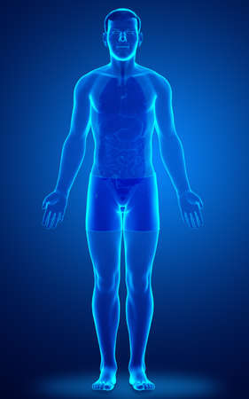 3d rendered illustration of the male body