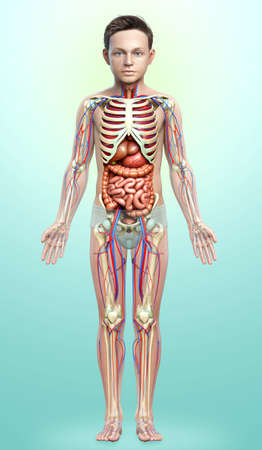 3d rendered medically accurate illustration of boy Internal organs, skeleton and circulatory system