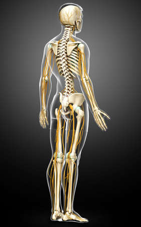 3d rendered medically accurate illustration of the nervous system and skeleton system