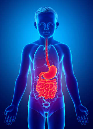 3d rendered, medically accurate illustration of a young boy stomach and small intestine
