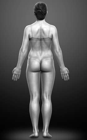 3d rendered illustration of the female body 스톡 콘텐츠