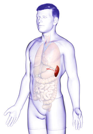 3d rendered, medically accurate illustration of a male Spleen Anatomy