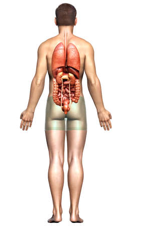 3d rendered medically accurate illustration of male  Internal organs