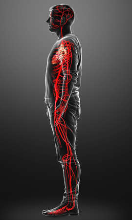 3d rendered medically accurate illustration of male arteries
