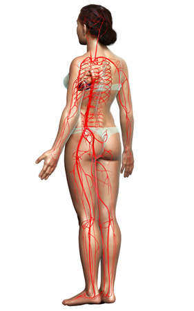 3d rendered medically accurate illustration of Female arteries Stok Fotoğraf