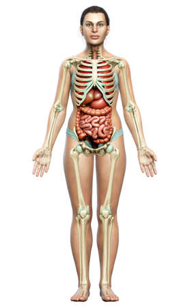 3d rendered medically accurate illustration of female  Internal organs and skeleton system
