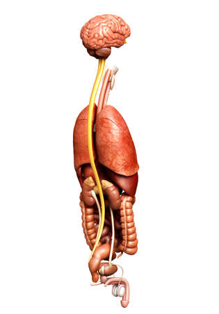 3d rendered medically accurate illustration of Internal organs