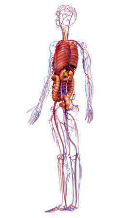 3d rendered medically accurate illustration of the circulatory  system and internal organs