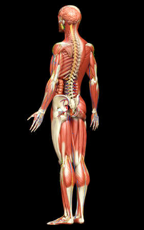 3d rendered medically accurate of the male anatomy Stok Fotoğraf
